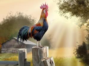 Un gallo se prepara para cantar su canción de la mañana