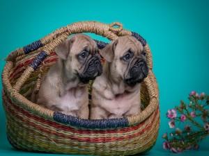 Cachorros de bulldog francés sentados en una cesta de mimbre
