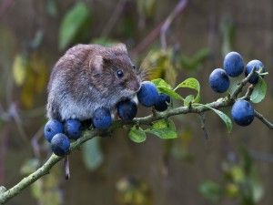 Ratón de campo sobre una rama con bayas azules
