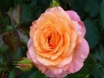 Rosa hermosa en dos tonos