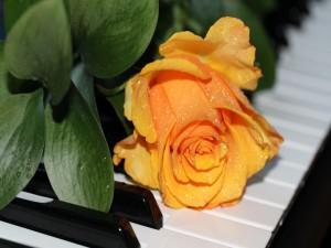 Rosa amarilla situada en las teclas de un piano
