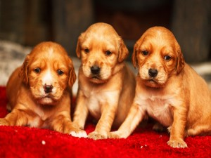 Preciosos cachorros golden retriever