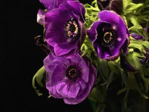 Anémonas color púrpura en un fondo negro