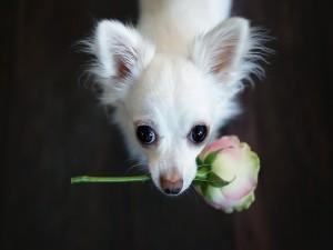 Chihuahua con una rosa en su boca
