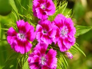 Bellas azaleas de color rosa