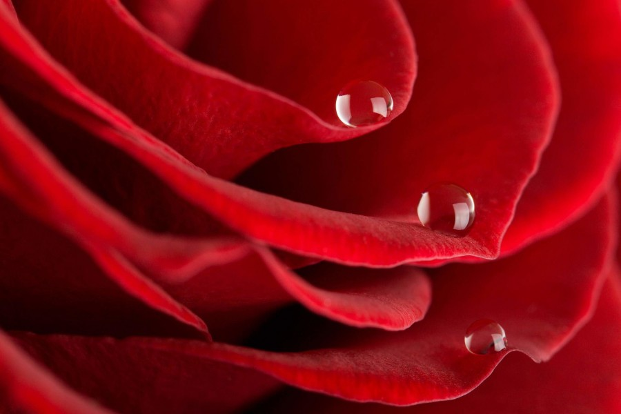 Tres gotas de agua sobre una hermosa rosa con pétalos de terciopelo