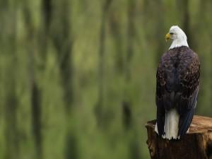 Águila posada en un tronco