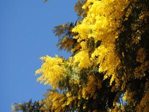 Mimosas amarillas en primavera