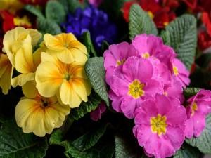 Bellas prímulas en primavera
