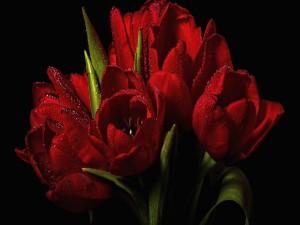 Ramo de tulipanes rojos con gotas de rocío