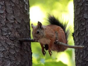 Ardilla colgada en una rama