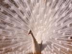 La imponente cola del pavo real macho