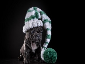 Bulldog francés negro con un gorro de lana