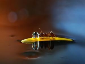 Hormiga sobre un pétalo junto a una gota de agua