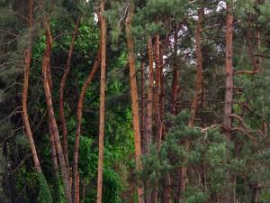 Estupendos pinos en un jardín botánico de Kiev