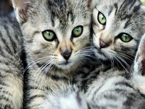 Bellos gatitos con ojos verdes
