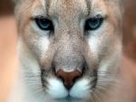 Misterioso león de montaña