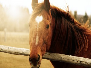 El sol ilumina la cabeza de un caballo marrón