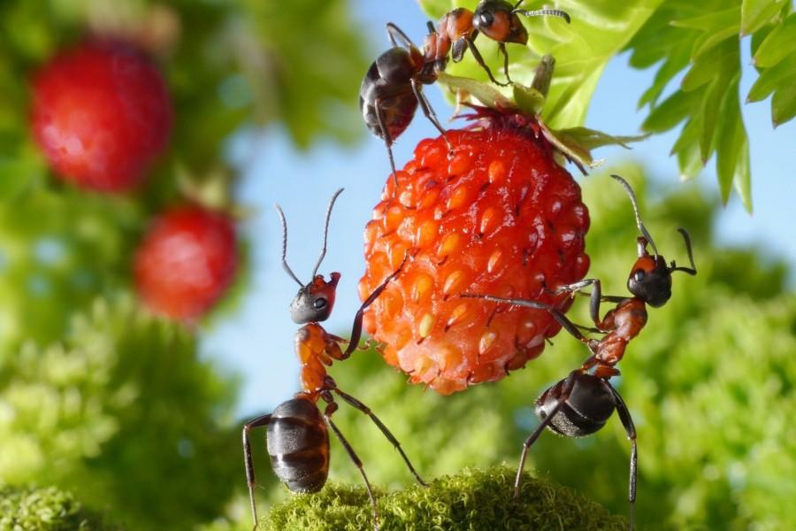 Hormigas comiendo una fresa