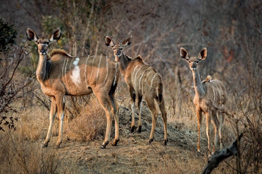 Familia de antílopes en el sur de África
