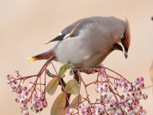 Bello pájaro en una rama con bayas