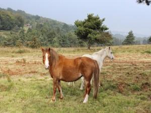 Dos caballos en el prado