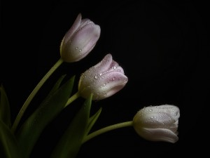 Tulipanes color rosa con gotas de rocío
