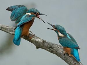 Dos Martín pescador peleando sobre una rama