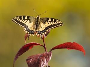 Mariposa posada sobre una ramita con hojas de color rojo