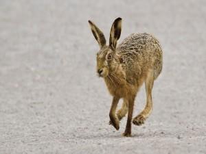 Una liebre corriendo