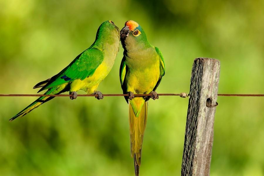 Dos loritos enamorados