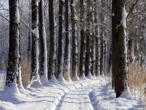 Árboles junto a la carretera cubierta de nieve