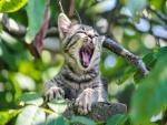 Gatito gris bostezando