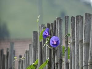 Enredadera en una valla