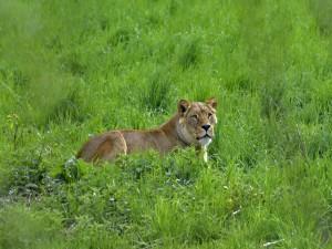 Leona observando atentamente entre la hierba verde