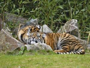 Tigres tumbados entre las rocas