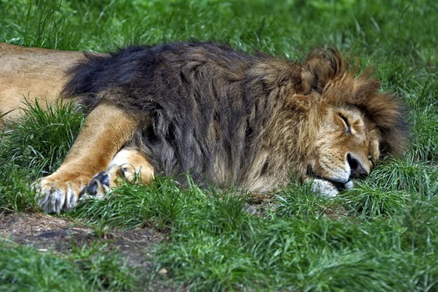 León durmiendo sobre la hierba