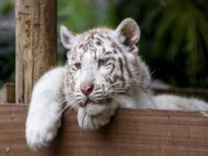 Tigre de ojos azules apoyado sobre una valla
