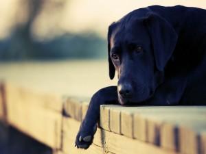 Precioso perro negro tumbado en el muelle de madera