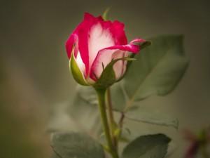 Bello pimpollo de rosa