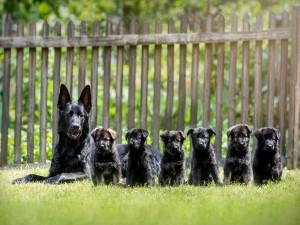 Pastor alemán con sus cachorros