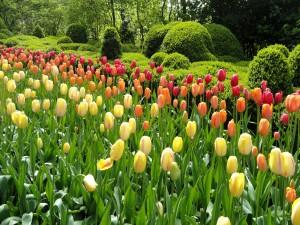 Sensacionales tulipanes en primavera