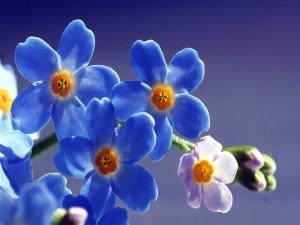 """Delicadas flores """"no me olvides"""""""