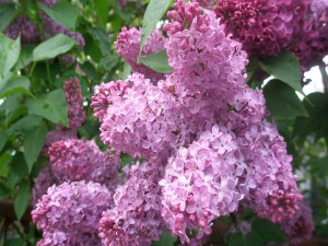 Arbusto con hermosas lilas
