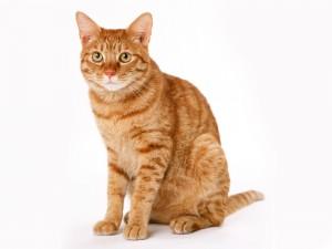 Bonito gato anaranjado