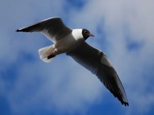 Ave volando