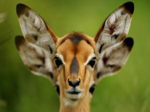 La cara de un antílope