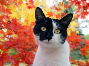 Un gato con la cara blanca y negra