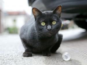 Gato negro mirando atentamente