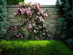 Hermoso rosal sobre la pared